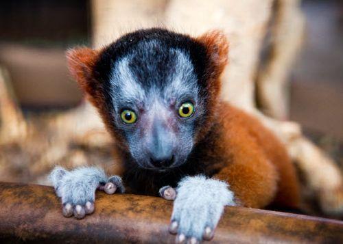 lemur_02.jpg