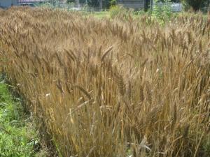 夏至の麦刈り