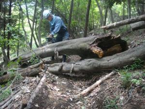 ブナの木が道を塞いでいます 3