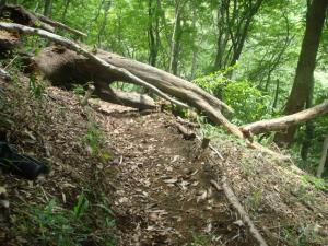 ブナの木が道を塞いでいます 1