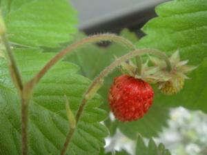 苑のワイルドストロベリー 2