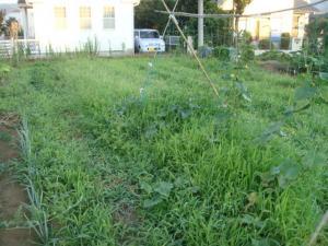 キュウリが草に埋まっています