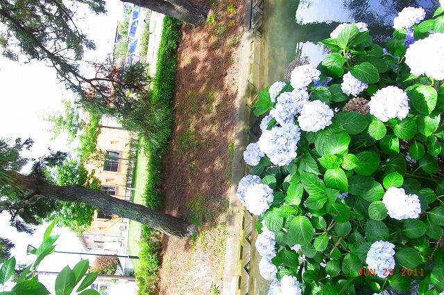 20110623-Ajisai06.jpg