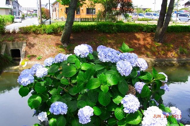 20110623-Ajisai07.jpg