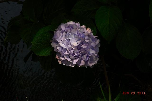20110623-Ajisai10.jpg