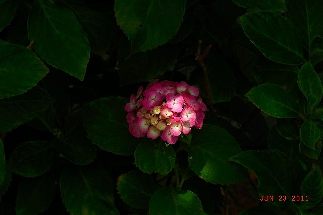 20110623-Ajisai13.jpg