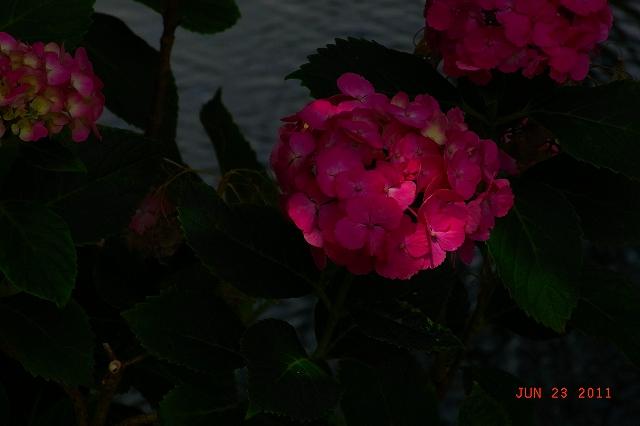 20110623-Ajisai14.jpg