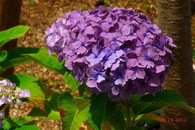20110623-Ajisai27.jpg