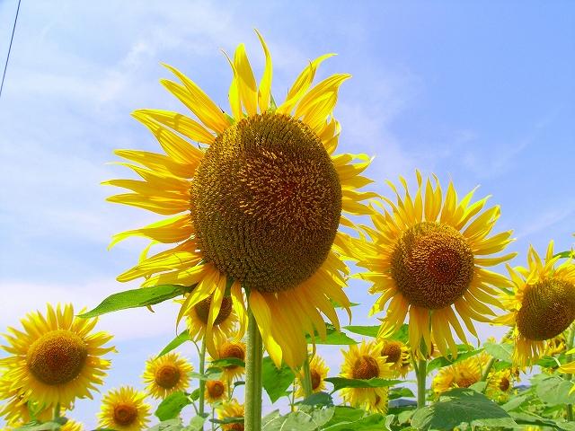 Sunflower-02.jpg