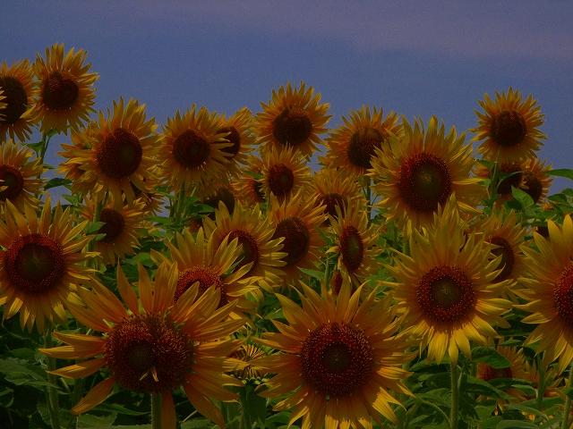 Sunflower-03.jpg