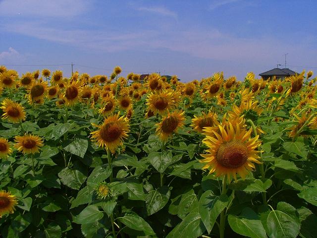 Sunflower-05.jpg