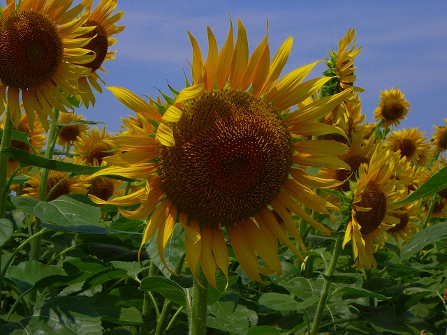 Sunflower-06.jpg