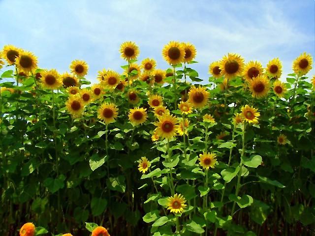 Sunflower-07.jpg