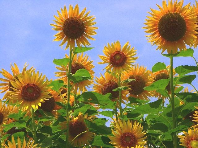 Sunflower-08.jpg
