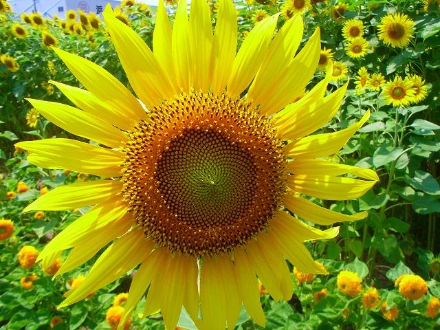 Sunflower-09.jpg