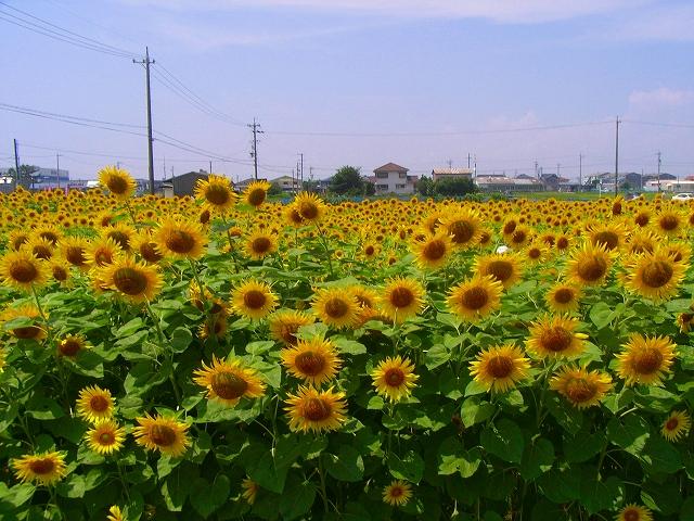 Sunflower-10.jpg