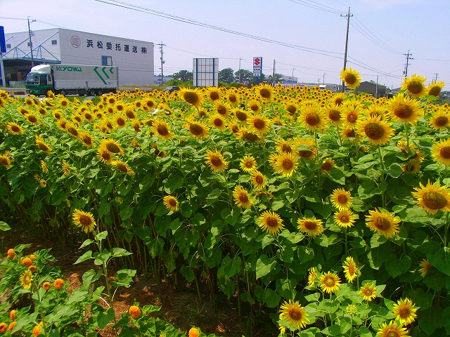 Sunflower-11.jpg