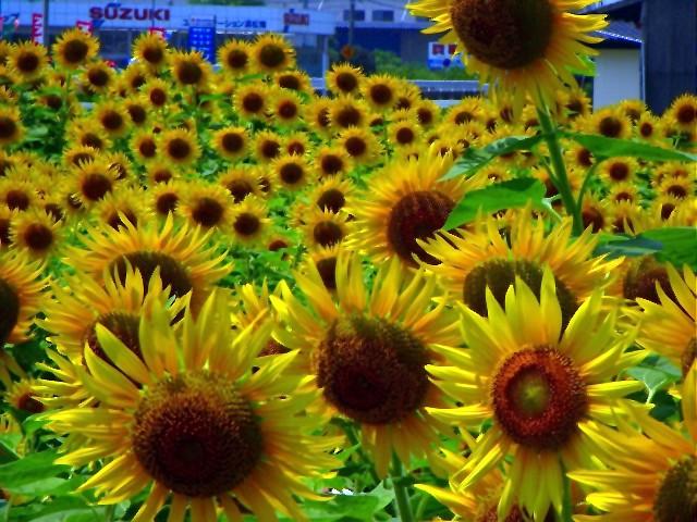 Sunflower-12.jpg