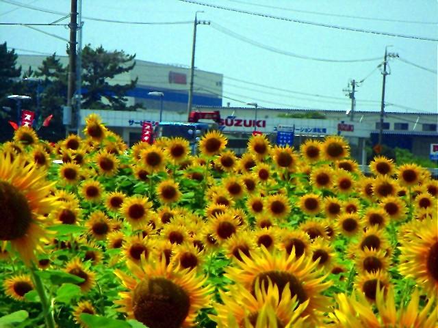 Sunflower-13.jpg