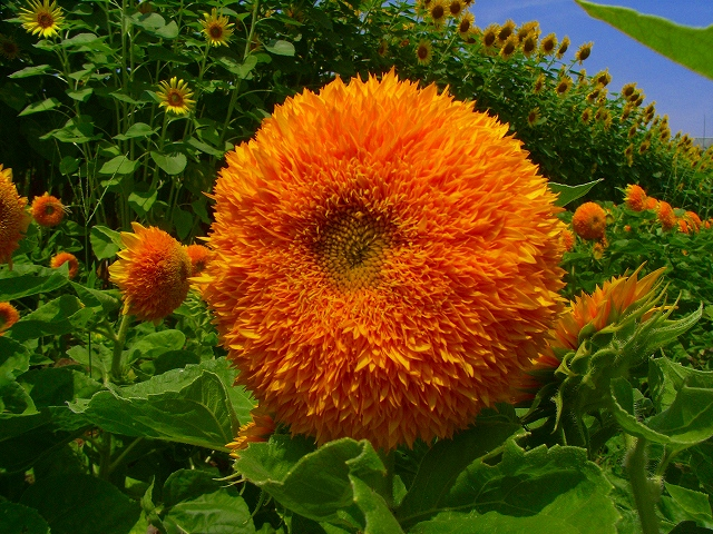 Sunflower-14.jpg