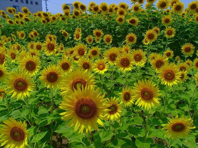 Sunflower-15.jpg