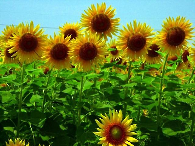 Sunflower-16.jpg