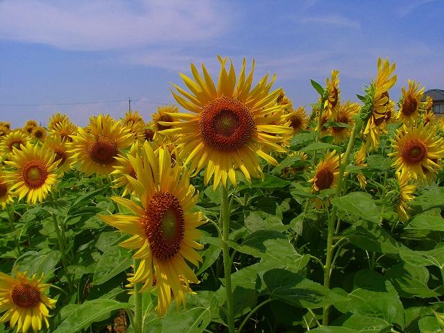 Sunflower-19.jpg