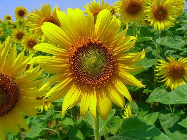 Sunflower-20.jpg
