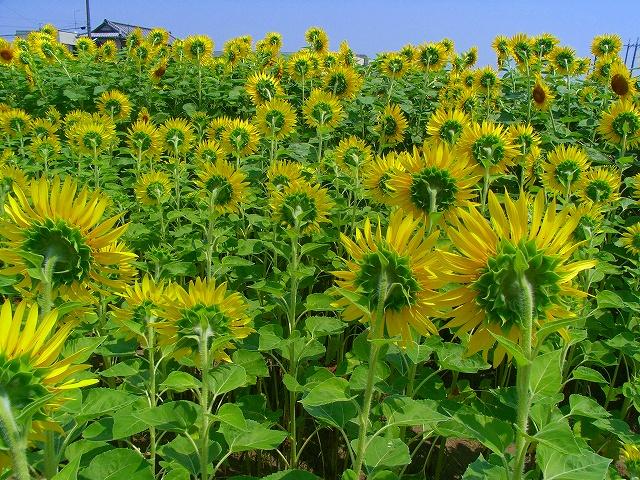 Sunflower-21.jpg