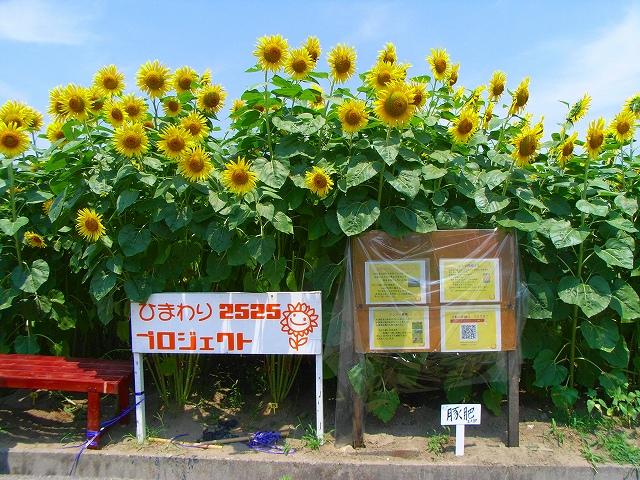 Sunflower-22.jpg