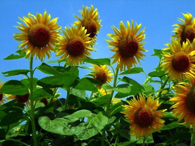Sunflower-23.jpg