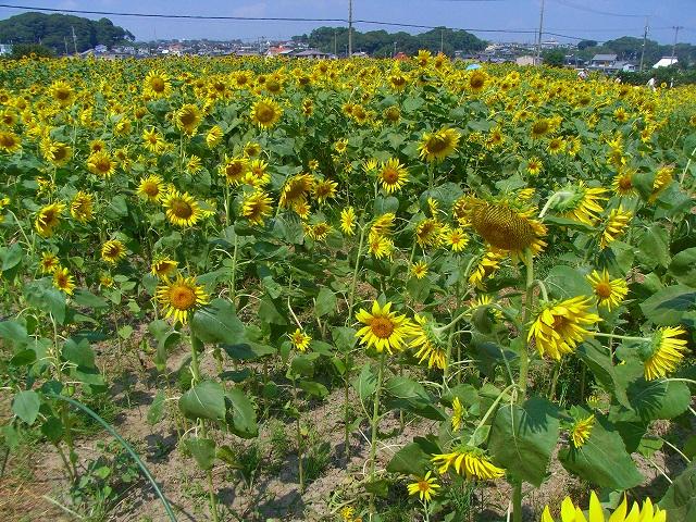 Sunflower-26.jpg