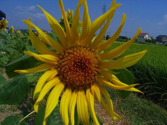 Sunflower-28.jpg