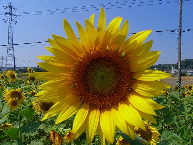 Sunflower-29.jpg