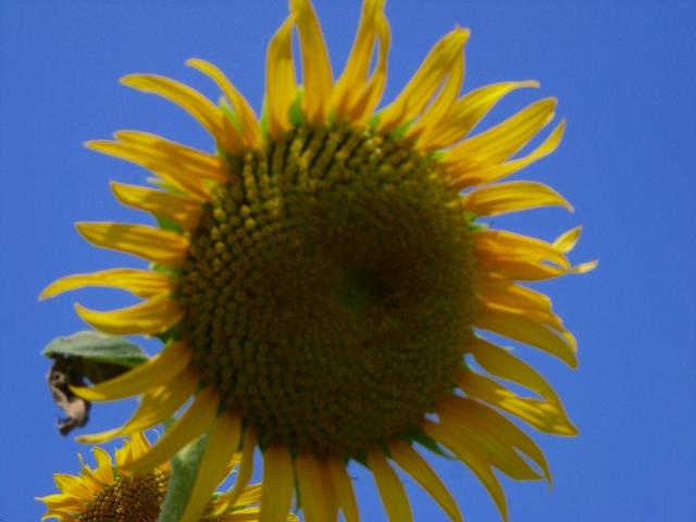 Sunflower-30.jpg