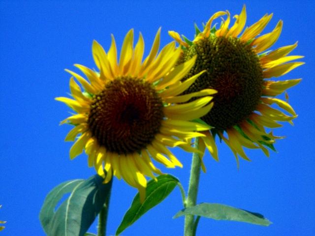 Sunflower-31.jpg