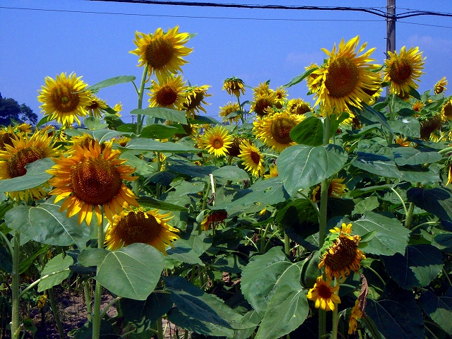 Sunflower-32.jpg