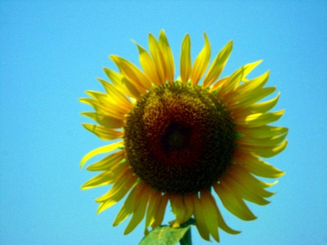 Sunflower-33.jpg