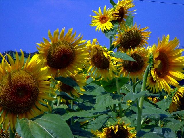 Sunflower-34.jpg