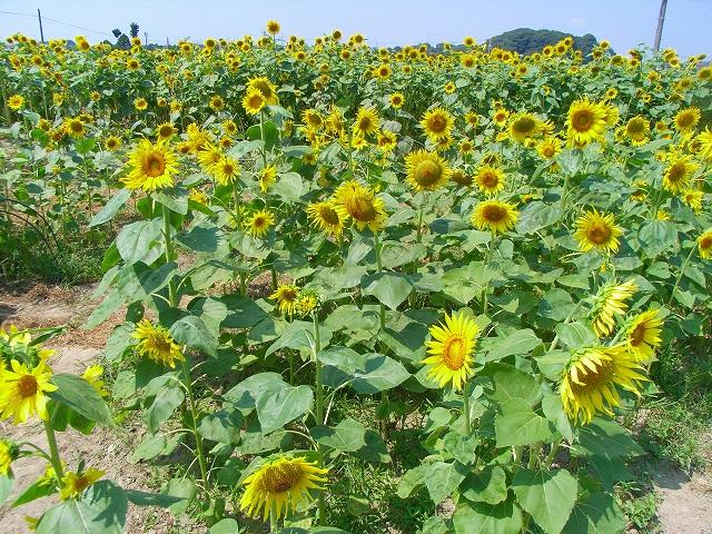 Sunflower-35.jpg