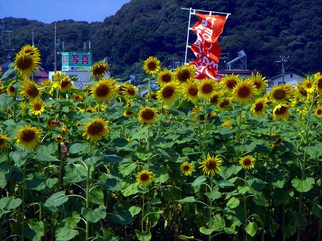 Sunflower-36.jpg