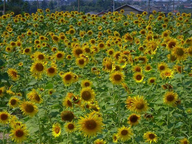 Sunflower-37.jpg