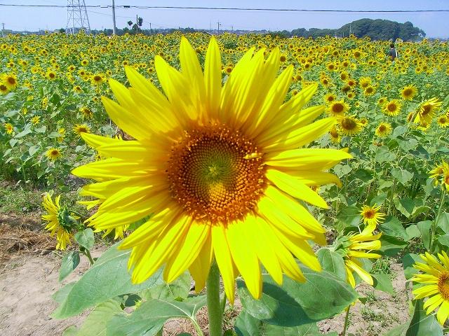 Sunflower-38.jpg