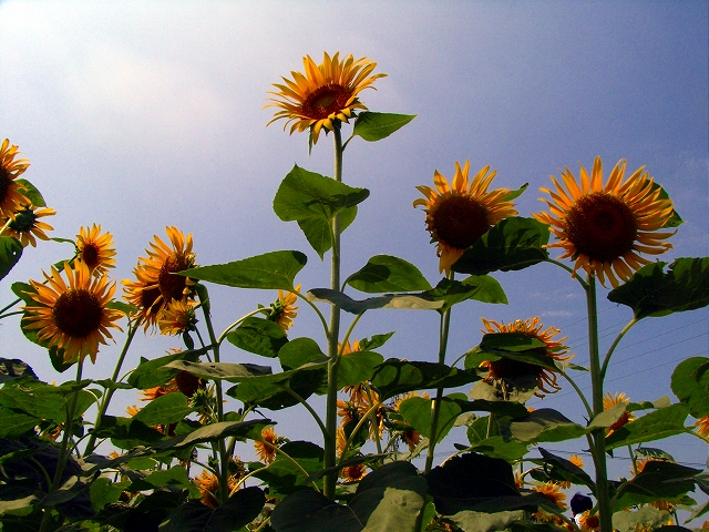 Sunflower-39.jpg