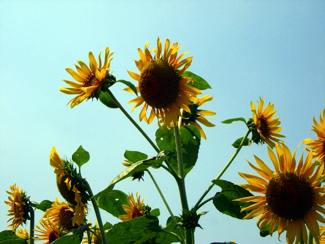 Sunflower-40.jpg