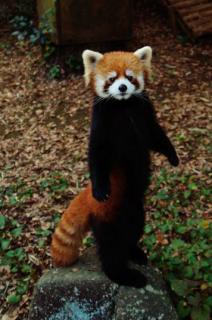 resser-panda.jpg