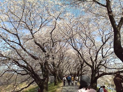 堤防の上は桜のトンネルに