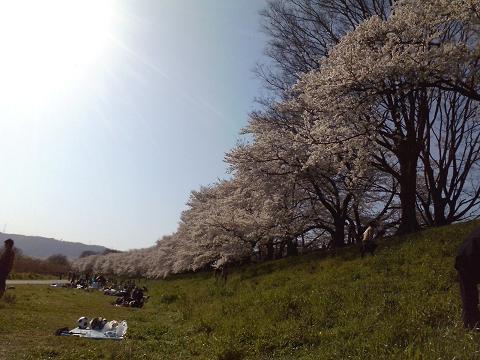 続く続く桜