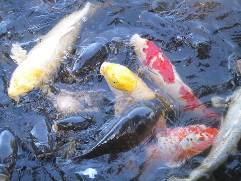 さまざまな模様の鯉