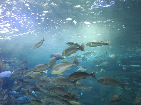 群れ泳ぐ魚たち